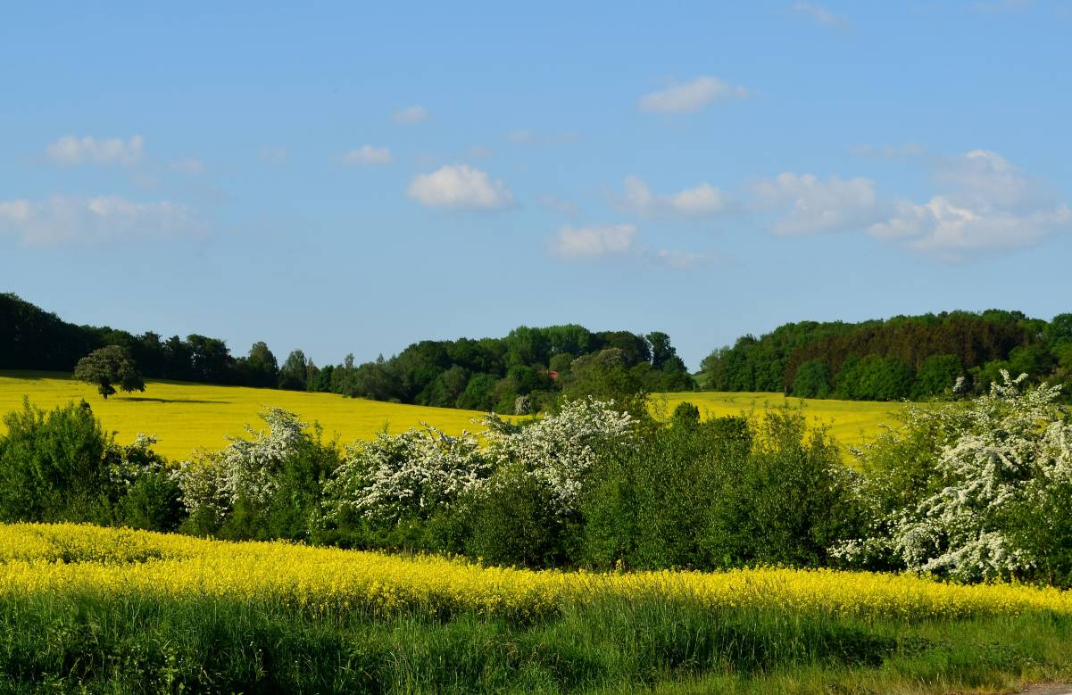 field-of-rapeseeds-3387609